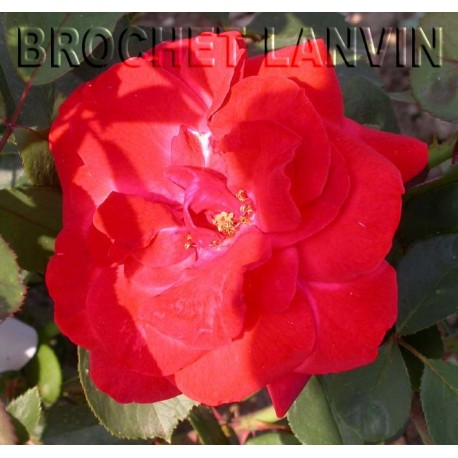 Rosa 'Jolie Princesse' - Rosaceae