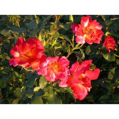 Rosa 'Joseph's Coat' - Rosaceae - Rosier