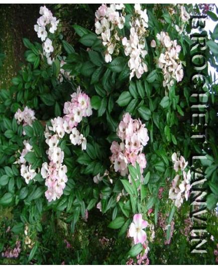 Rosa 'Juliana von Spolberg' - Rosaceae - Rosier