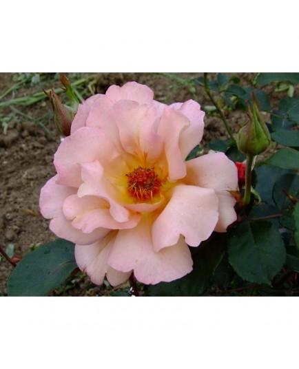 Rosa 'Julias Rose' - Rosaceae - Rosier
