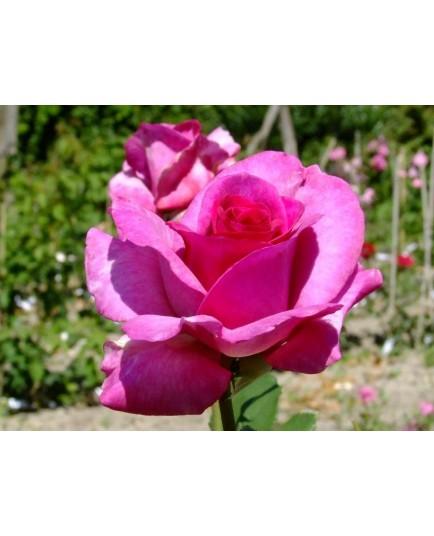 Rosa 'Violette Parfumée' - Rosaceae - Rosier