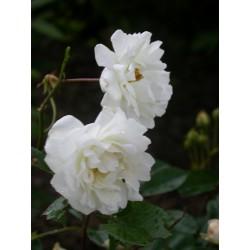 Rosa 'Katherina Zeimett' - Rosaceae - Rosier
