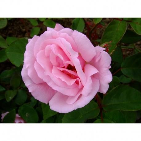 Rosa  'Kathleen Harrop' - Rosaceae - Rosier