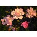 Rosa 'Katleen' - Rosaceae - Rosier