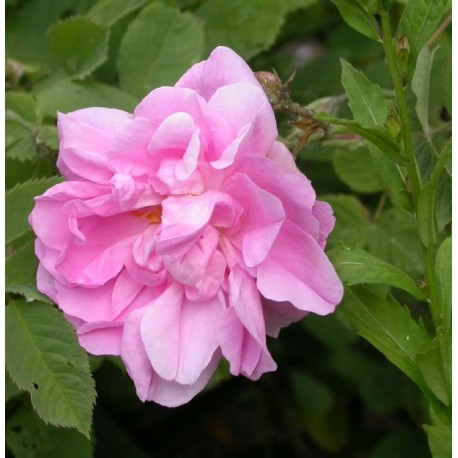 Rosa 'Kazanlik' - Rosaceae - Rosier