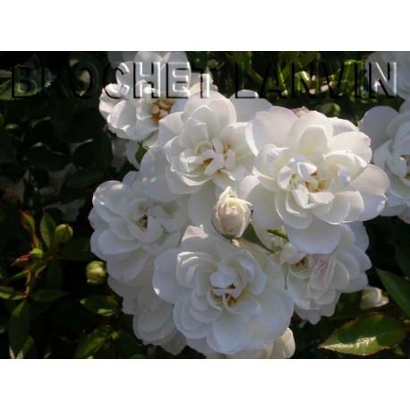Rosa 'Kent' - Rosaceae - Rosier