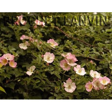 Rosa  'Kew Rambler' - Rosaceae - Rosier