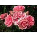 Rosa 'Kimono' - Rosaceae - Rosier polyantha à fleurs groupées
