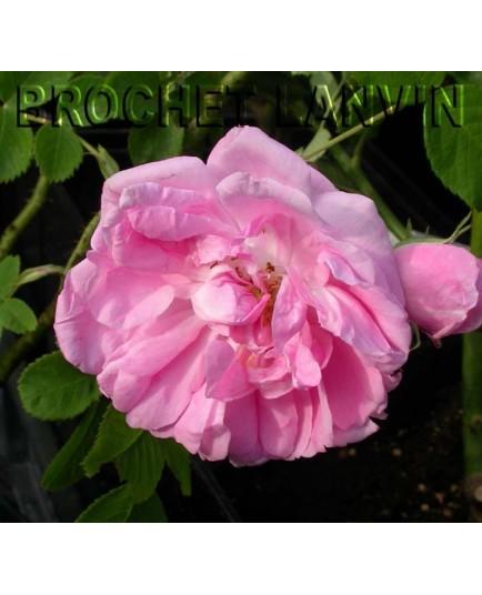 Rosa 'Konigin von Danemark' - Rosaceae - Rosier
