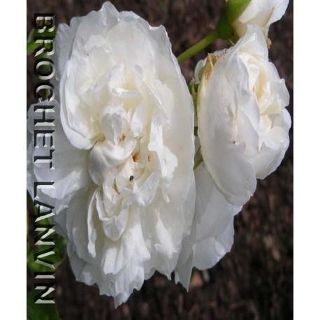 Rosa 'Kronprinzesson Viktoria' - Rosaceae - rosier