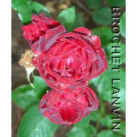 Rosa 'Krymskaya noc' - Rosaceae - Rosier