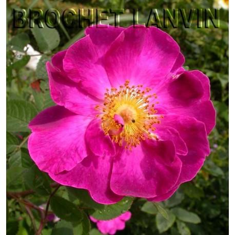 Rosa 'La Belle Sultane' - Rosaceae - Rosier