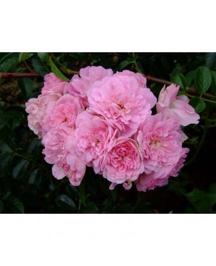 Rosa  'La Fraicheur' - Rosaceae - Rosier