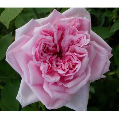 Rosa 'La France' - Rosaceae - Rosier
