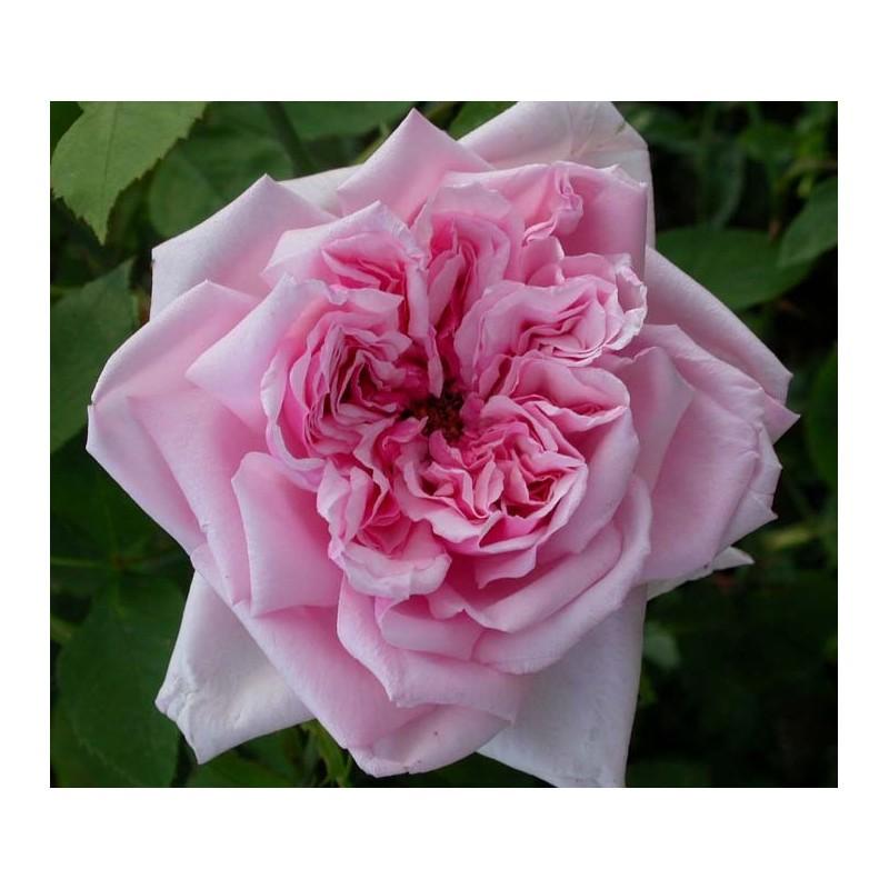 Rosa la france rosier for Rosier jardin de france