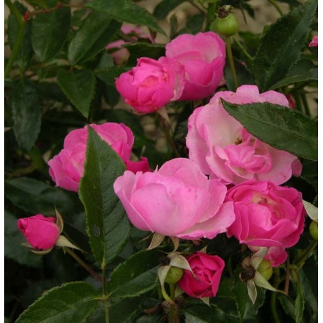 Rosa 'La Marne' - Rosaceae - Rosier