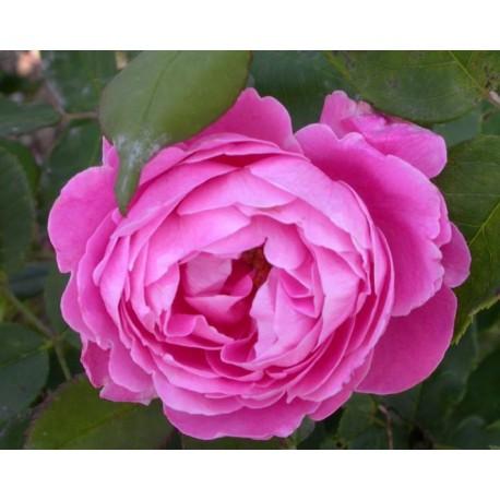 Rosa 'Reine Victoria' - Rosaceae - Rosier