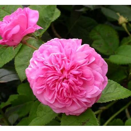 Rosa 'La Ville de Bruxelles' - Rosaceae - Rosier