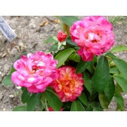 Rosa  'Léonie Lamesch' - Rosaceae - Rosier
