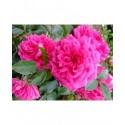 Rosa 'Laguna' - Rosaceae - Rosier
