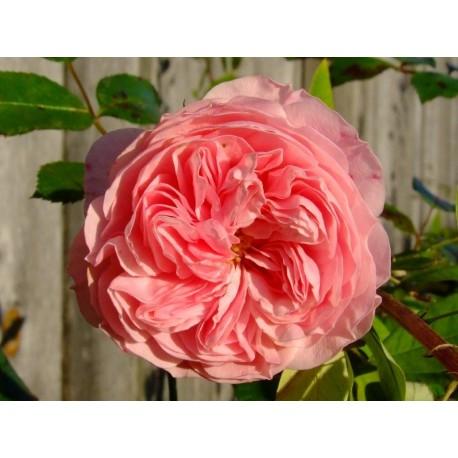 Rosa 'Larissa' - Rosaceae - Rosier couvre-sol