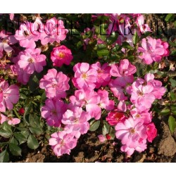Rosa 'Lavander Dream (R)' - Rosaceae - Rosier