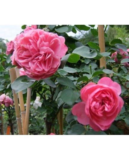 Rosa 'Leonard de Vinci' - Rosaceae - rosier nain à fleurs groupées