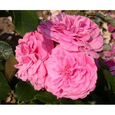 Rosa 'Les quatre saisons' - Rosacceae - Rosier nain et couvre-sol