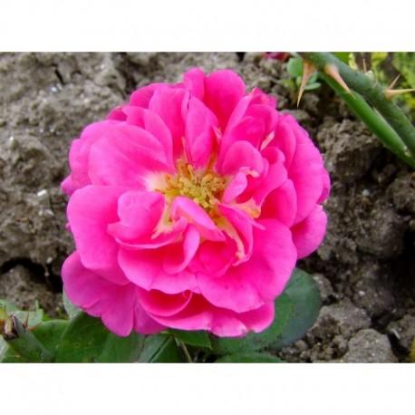 Rosa 'Les Rosati' - Rosaceae - Rosier arbuste