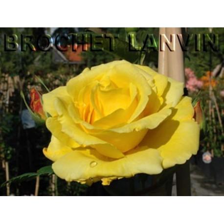 Rosa 'Lichtkoningin Lucia' - Rosaceae - Rosier