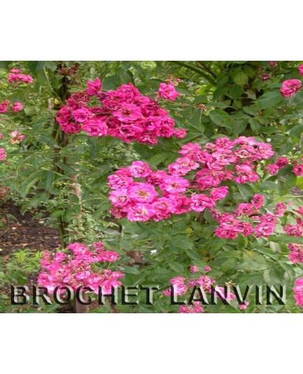 Rosa 'Liliput cl' - Rosaceae - Rosier