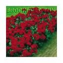 Rosa 'Lilli Marleen' - Rosaceae - Rosier polyantha à fleurs groupées