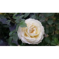 Rosa 'Lions Rose'®' - Rosaceae - Rosier arbustif