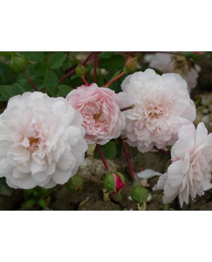 Rosa 'Little White Pet' - Rosaceae - Rosier nain