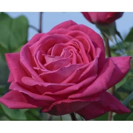 Rosa 'Lolita Lempicka ® Meizincarosar - Rosaceae - Rosier