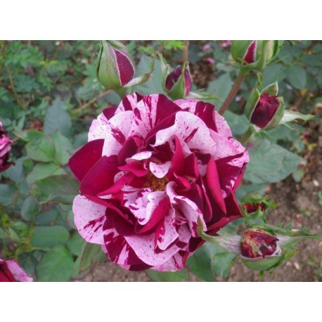Rosa 'New Imagine' - Rosaceae – Rosier