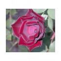 Rosa 'Louis XIV' - Rosaceae - Rosier