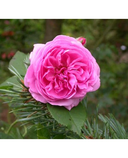Rosa 'Louise Odier' - Rosaceae - Rosier