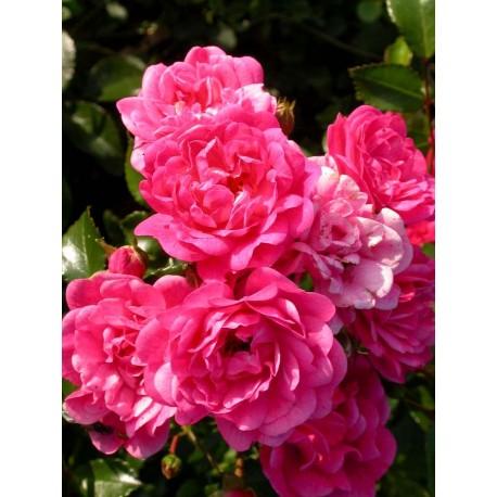 Rosa 'Lovely Fairy' - Rosaceae - Rosier nain et couvre sol