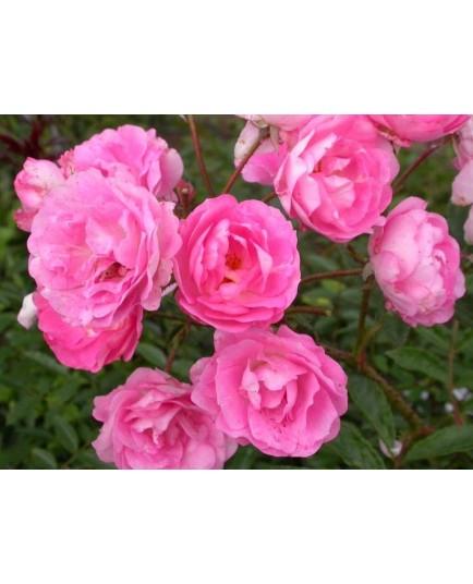 Rosa 'Maman Turbat' - Rosaceae - Rosier