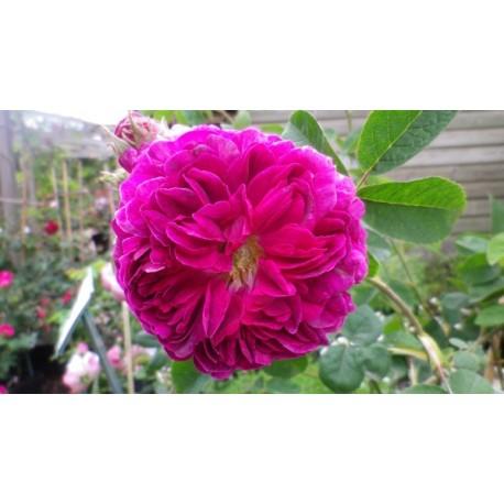 Rosa 'Manteau Pourpre' - Rosaceae - Rosier