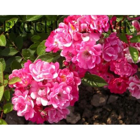 Rosa 'Maréchal Foch' - Rosaceae