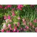 Rosa 'Maria Lisa' - Rosaceae - Rosier