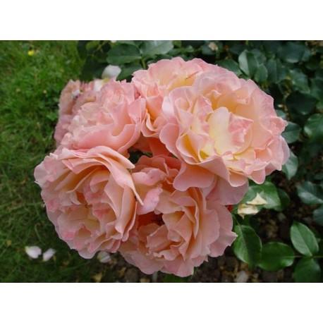 Rosa 'Marie Curie' - Rosaceae - rosier nain à fleurs groupées