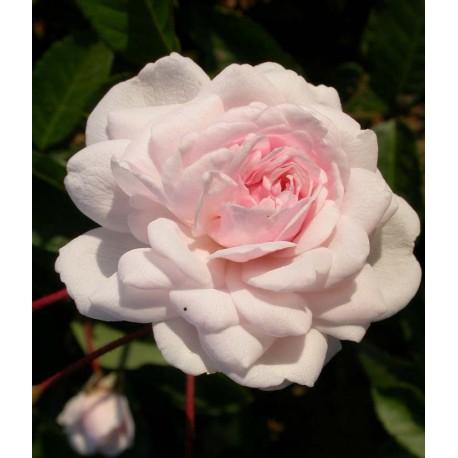 Rosa 'Marie Pavie' - Rosaceae - Rosier nain