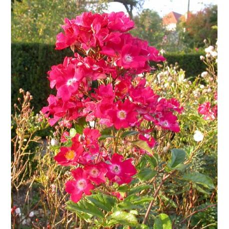 Rosa 'Martha Lambert' - Rosaceae - Rosier