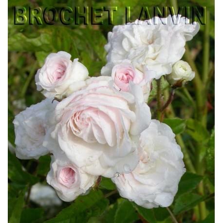 Rosa 'Mauricette Sistan' - Rosaceae - Rosier