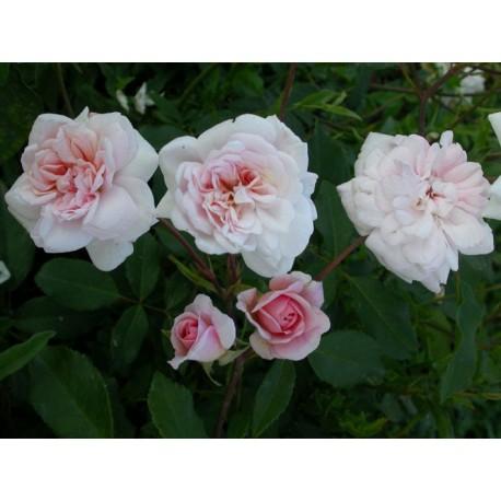 Rosa 'Melle Cécile Brunner' - Rosaceae - Rosier
