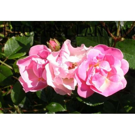 Rosa 'Nathalie Nypels' - Rosaceae - Rosier