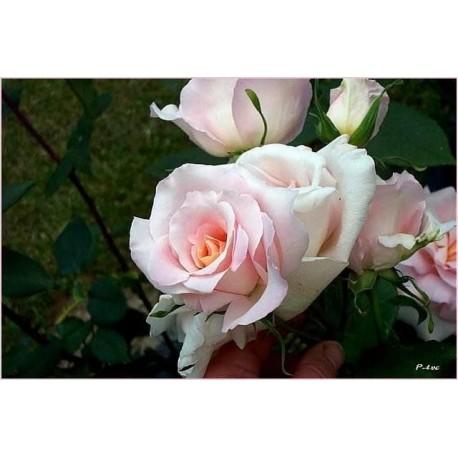 Rosa 'Michèle Meilland' - Rosaceae - Rosier